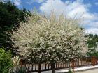 Saule crevette, Salix integra 'Hakuro Nishiki'