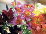 Salpiglossis à fleurs changeantes, Trompette de velours, Salpiglossis sinuata