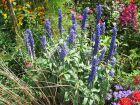 Sauge farineuse, Salvia farinacea