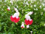 Sauge de Graham Hot Lips, Salvia microphylla 'Hot Lips'