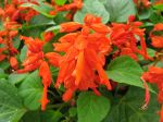 Sauge éclatante, Salvia splendens