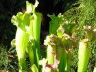 Les plantes carnivores (dossier)