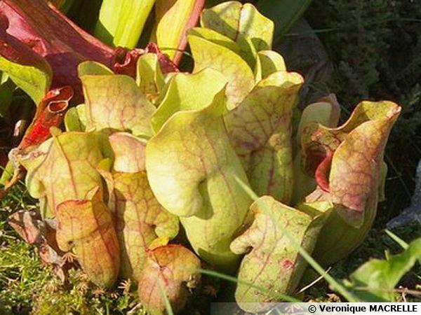 Plantes carnivores : une culture exigeante