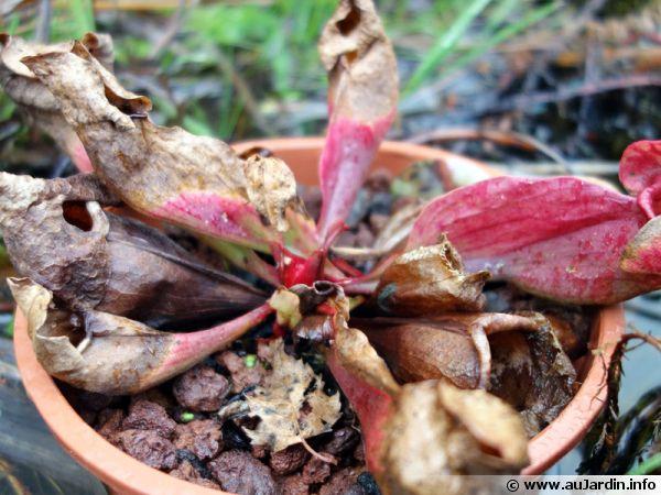 Sarracenia purpurea en hiver à l'extérieur