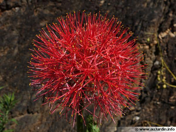 Ail rouge, Haemanthus multiflore, Scadoxus multiflorus