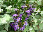 Scaévola, Fleur éventail de fée, Scaevola aemula 'Whirlwind Blue' dans une jardinière
