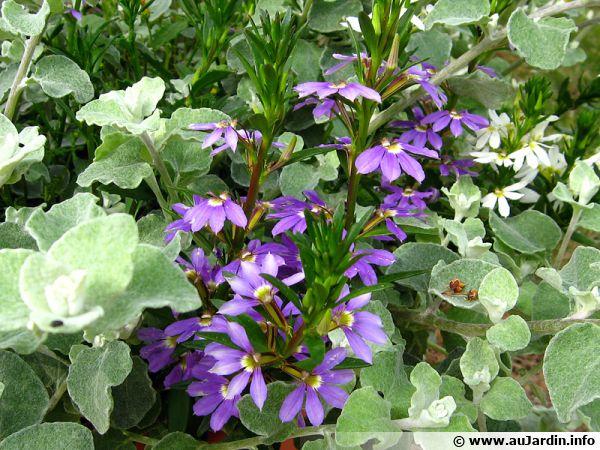 sca u00e9vola  fleur  u00e9ventail de f u00e9e  scaevola aemula