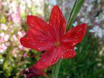 Fleur du Lis des Cafres, Schizostylis coccinea