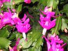 Cactus de Noël, Schlumbergera x buckleyi