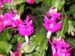Cactus de No�l, Schlumbergera, Zygocactus