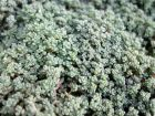 Orpin à feuilles épaisses, Sedum dasyphyllum