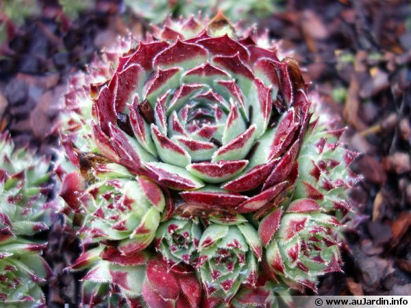 joubarbe du calcaire sempervivum calcareum planter cultiver. Black Bedroom Furniture Sets. Home Design Ideas