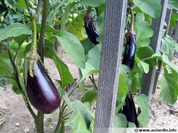 Aubergine solanum melongena conseils de culture - Cultiver aubergine en pot ...