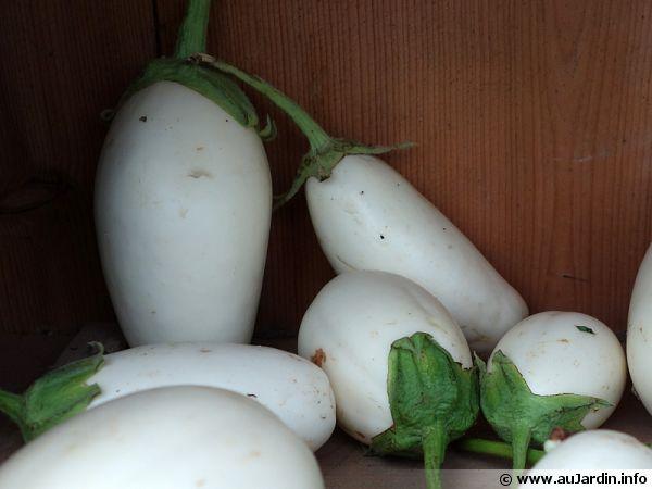 Aubergine plante à oeuf, Solanum melongena 'Blanche Ronde à oeuf'