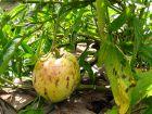 Poire-melon, Pepino, Solanum muricatum