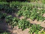 La conservation des pommes de terre