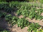 Pomme de terre, Solanum tuberosum