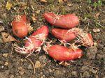 Pommes de terre avec germes