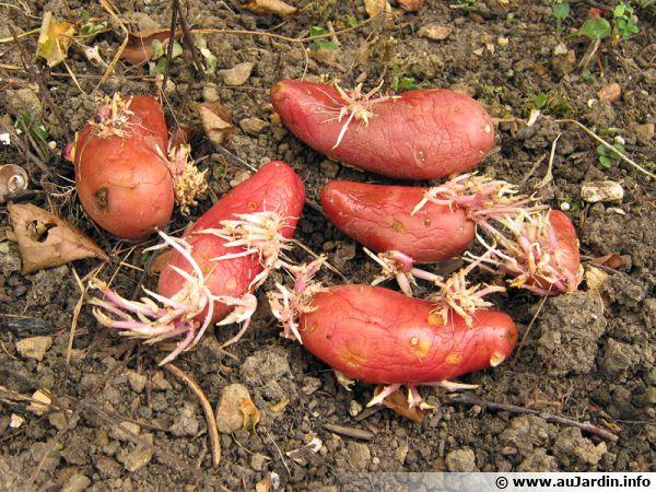 La germination des pommes de terre