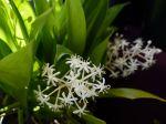 Muguet chinois, Speirantha convallarioides