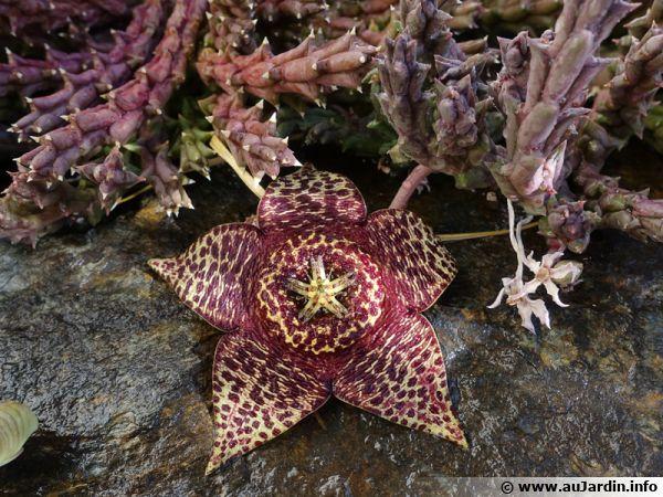 Cactus étoile de mer, Orbea variegata