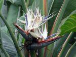 Oiseau du paradis blanc, Strelitzia nicolai