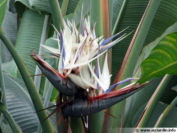 Oiseau Du Paradis Blanc Strelitzia Nicolai Planter Cultiver