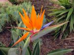 Fleur de l'oiseau du paradis