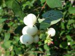 Symphorine blanche, Symphorine commune, Arbre aux perles, Symphoricarpos albus