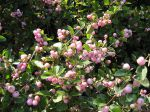 Symphorine rose Mother of Pearl, Symphoricarpos x doorenbosii 'Mother of Pearl'