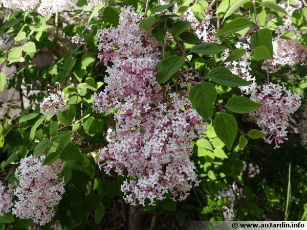 Lilas à petites feuilles, Syringa microphylla parfume le jardin au printemps
