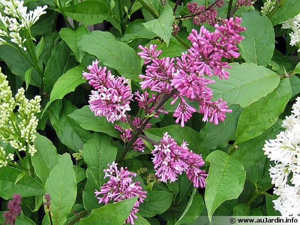 lilas de perse syringa x persica planter cultiver multiplier. Black Bedroom Furniture Sets. Home Design Ideas