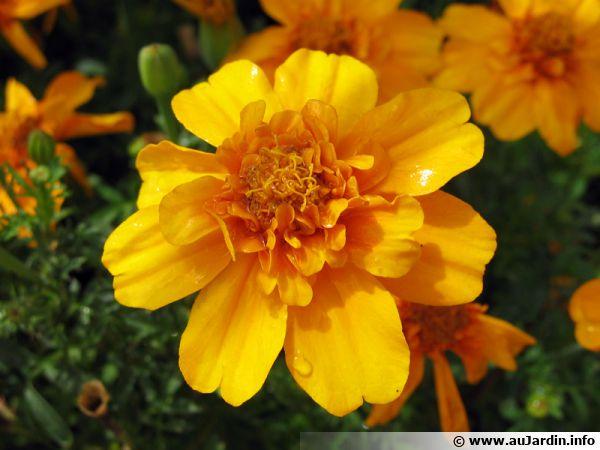 Fleur d'oeillet d'Inde, Tagetes patula