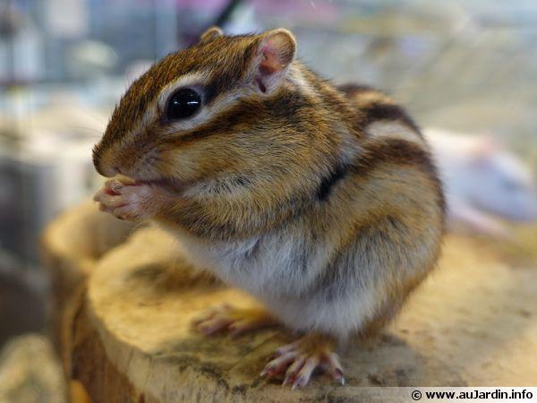 L'écureuil de Corée, un rongeur très vif