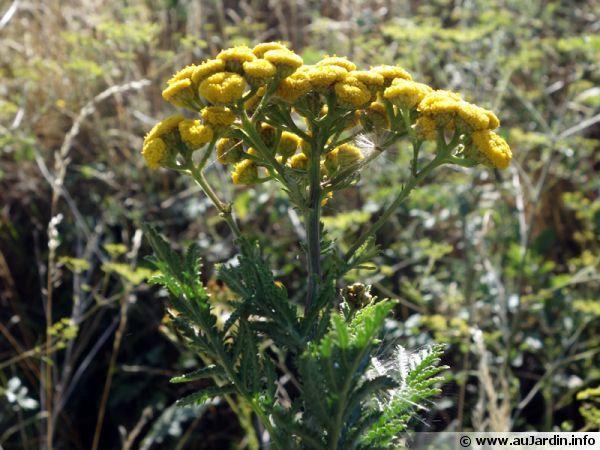 Les fleurs de tanaisie sont utilisées pour faire du purin
