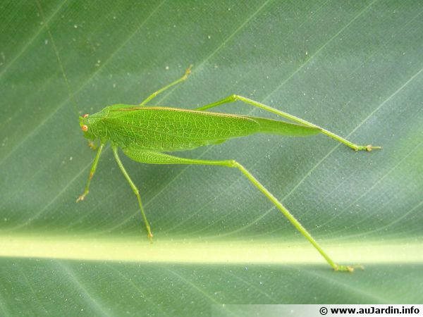 La grande sauterelle verte aime la chaleur et le soleil