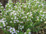 Fleur de thym, Thymus vulgaris