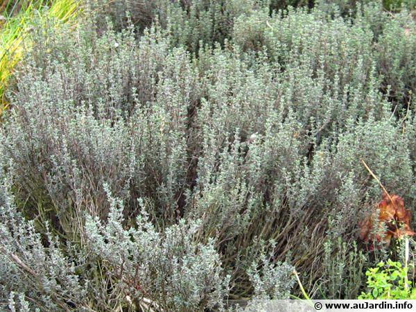 Le thym, un ingrédient principal des herbes de Provence