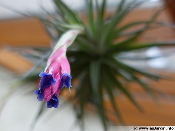 Une Tillandsia aeranthos suspendue dans une véranda fleurissant en février