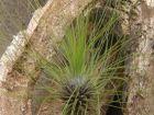 Tillandsie à feuilles filiformes, Fille de l'air filiforme, Tillandsia filifolia