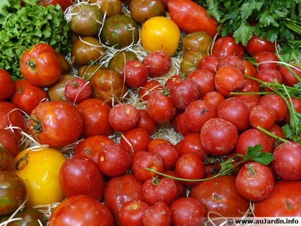 Tomates anciennes... pour retrouver le goût !
