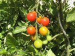 Des tomates sans maladies
