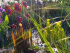 Une tourbière à plantes carnivores dans mon bassin