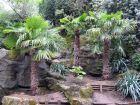 Palmier chanvre, Palmier de Chine, Palmier moulin, Trachycarpus fortunei