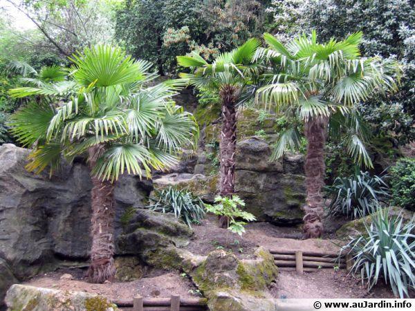 Palmier chanvre palmier de chine palmier moulin for Palmier d exterieur resistant au froid