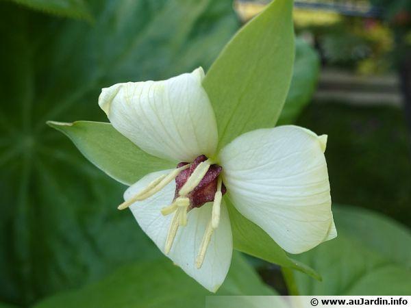 Trille hybride, Trillium flexipes x erectum