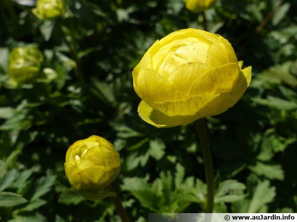 Boule d'or, Trolle d'Europe, Trolle des montagnes, Trollius europaeus