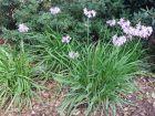 Ail violet d'Afrique du sud, Tulbaghie violette, Tulbaghia violacea