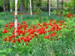 Tulipes avec fleurs de lys en sous-bois
