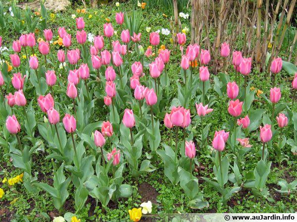 Massifs de tulipes roses dans un parc